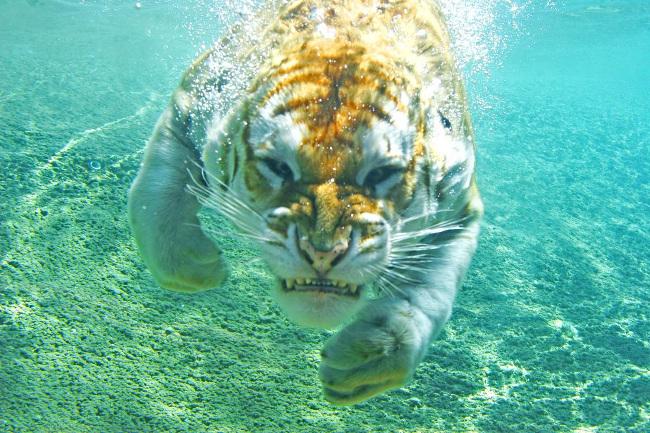 Tigerpoolimgurpics
